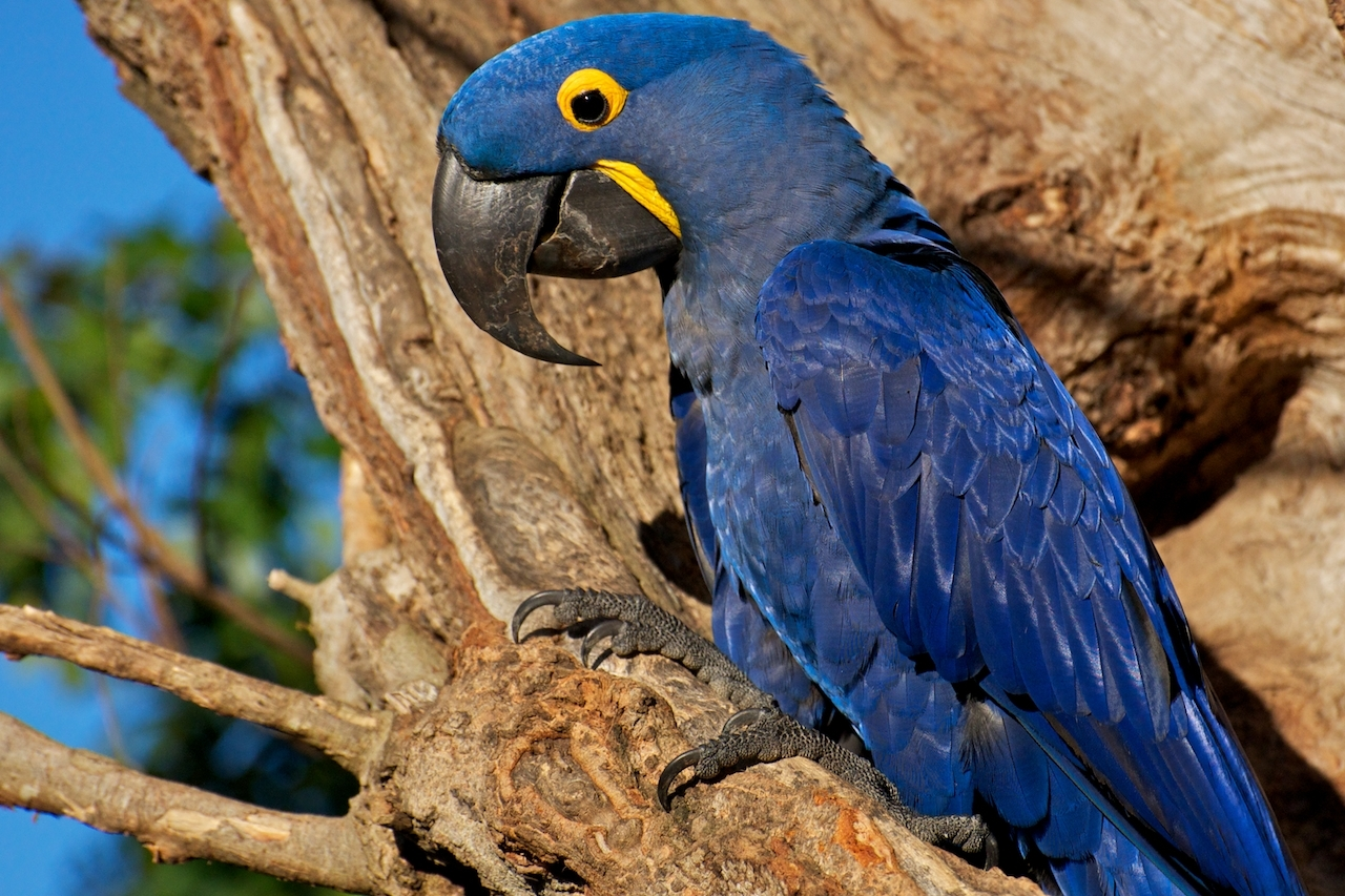 Muito Arara em extinção é devolvida ao Brasil após ser contrabandeada  DQ34